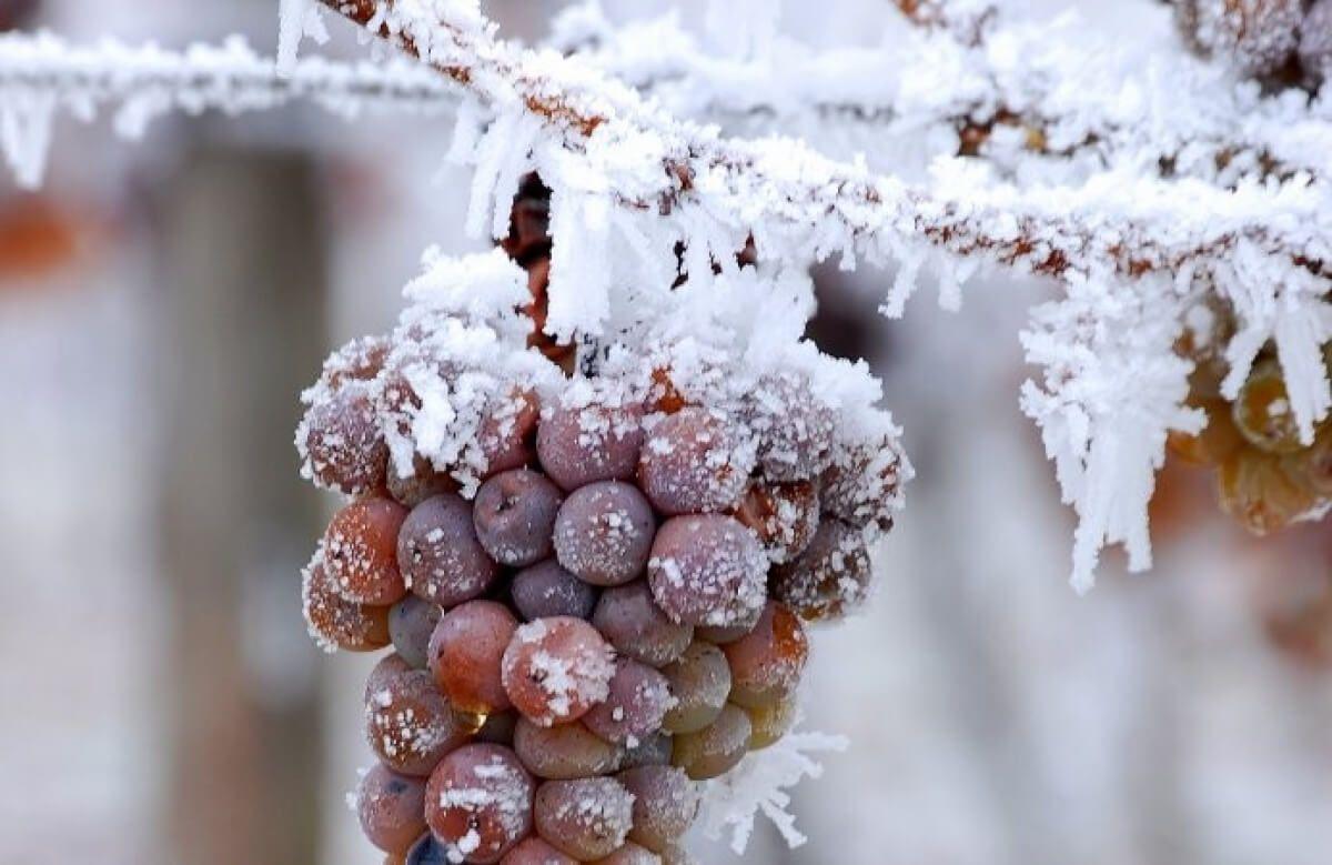 uvas congeladas para elaboración de vino de hielo